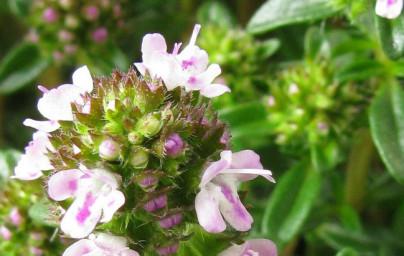 Šetraj (Satureja hortensis)