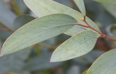 Evkaliptus (Eucalyptus)