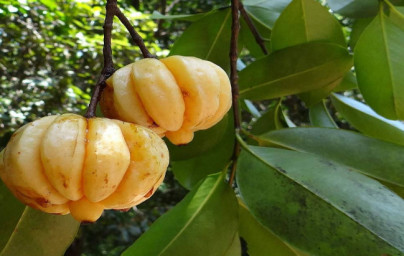 Garcinia (Garcinia Cambogia)