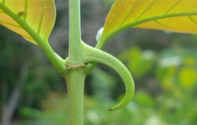 Mačji krempelj (Uncaria tomentosa)