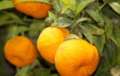 Mandarine (Citrus reticulata)