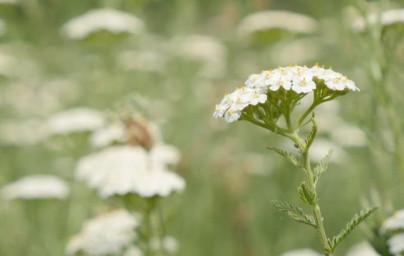 Rman (Achillea millefolium)