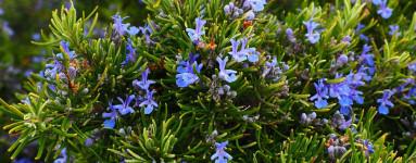 Rožmarin (Rosmarinus officinalis)
