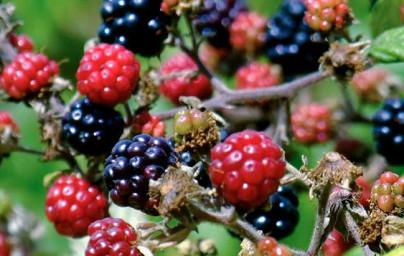 Robida (Rubus fruticosus)