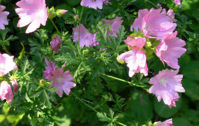 Slez (Althaea officinalis)
