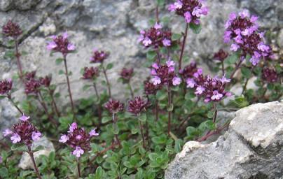Timijan (Thymus vulgaris)