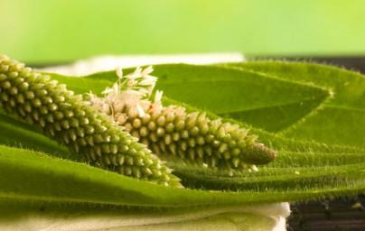 Trpotec (Plantago lanceolata)