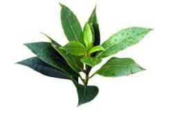 Eterično olje čajevca