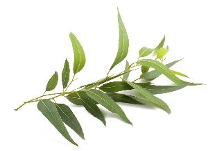 Eterično olje evkaliptusa