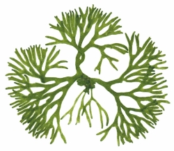 Naravni Jod iz morskih alg