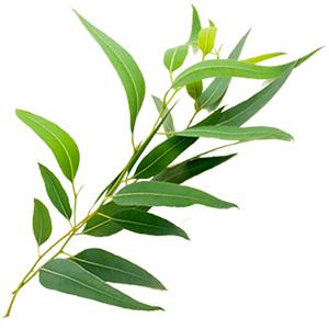 etericno-olje-evkaliptus